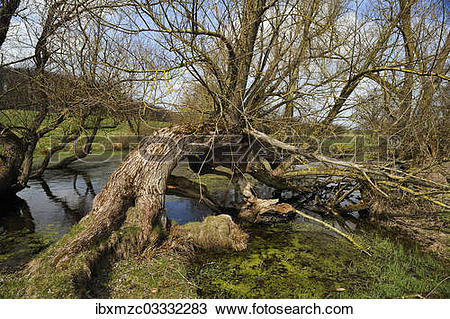 """Stock Photo of """"Old willow trees (Salix) at a dead ice kettle hole."""