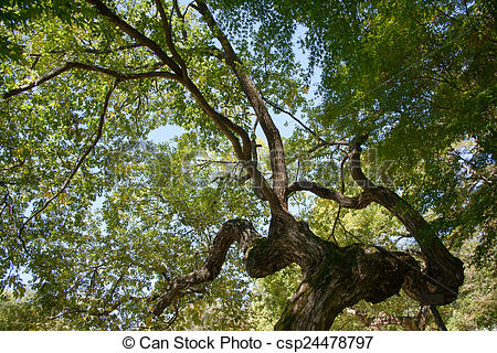 Stock Photographs of bough of old willow tree in autumn.