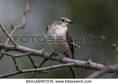 "Stock Images of ""Collared flycatcher (Ficedula albicollis), female."