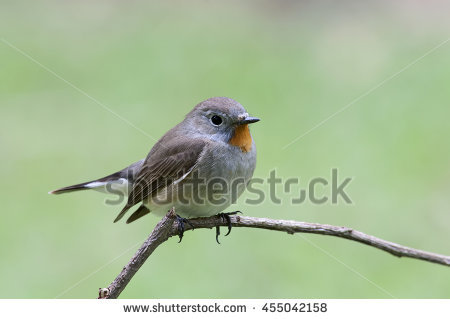 Old World Flycatchers Stock Photos, Royalty.