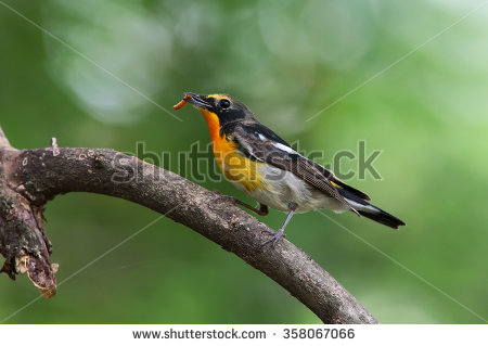 Old World Flycatcher Stock Photos, Royalty.
