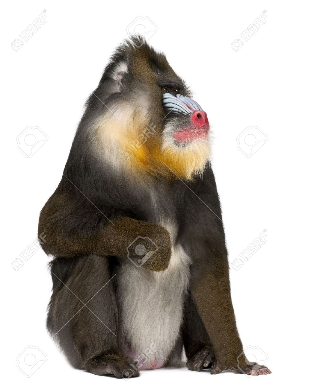 Mandrill Mandrillus Sphinx Stock Photos Images. Royalty Free.
