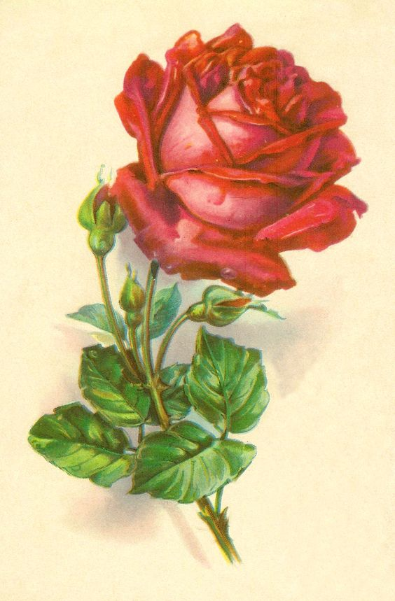 Antique Roses.