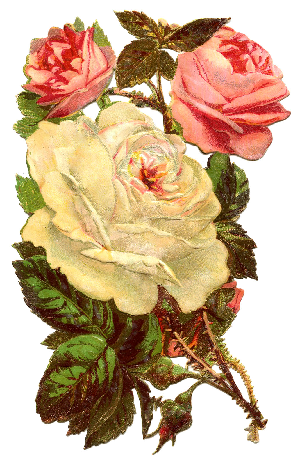 vintage botanical rose drawing.