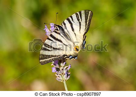 Picture of Old World Swallowtail on lavender flowers in bloom.