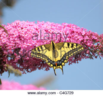 Old World Swallowtail Butterfly, Papilio Machaon, In The Coastal.