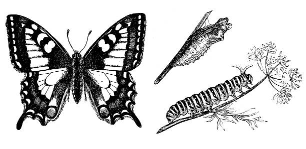 Old World Swallowtail Clip Art, Vector Images & Illustrations.