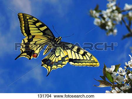Stock Photo of old world swallowtail.