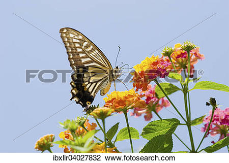 Stock Photo of Old World Swallowtail (Papilio machaon) on a.