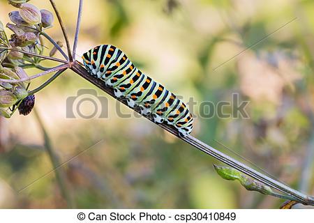 Stock Photo of Caterpillar Old World swallowtail.