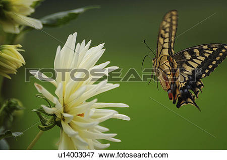 Picture of Old World Swallowtail Flying u14003047.