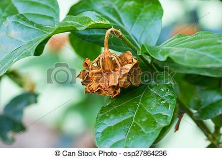 Stock Photos of Dry Jasmine flower on tree, Jasminum sambac.