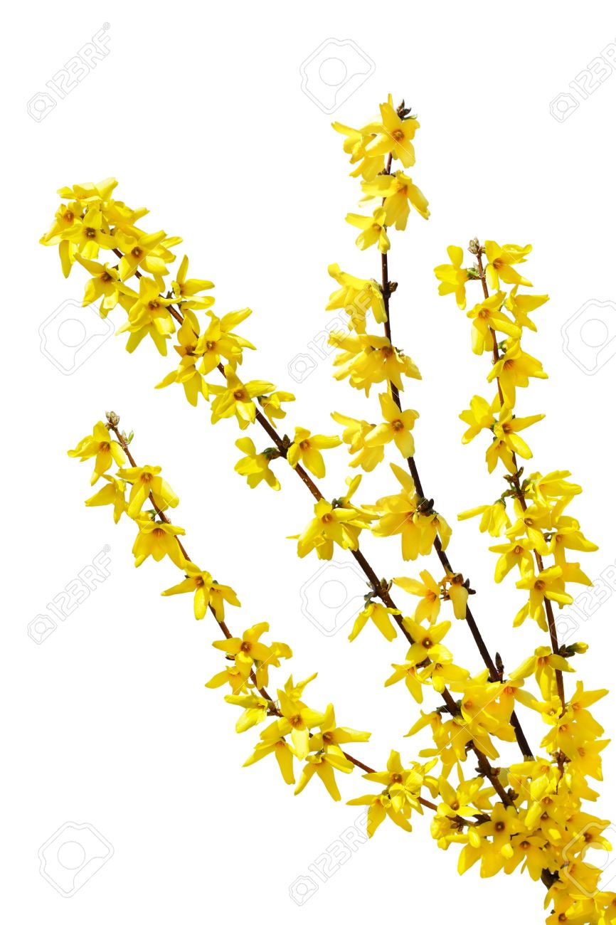 Forsythia Oleaceae Flowers Spring Time Isolated On White.