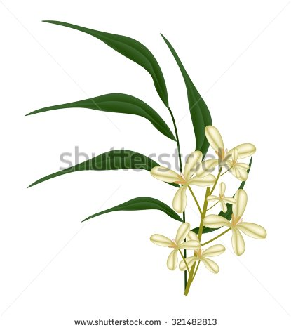 Oleaceae Stock Vectors & Vector Clip Art.