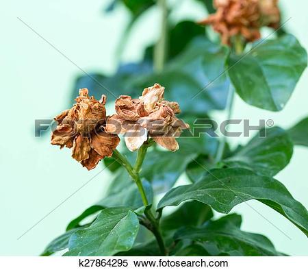 Stock Image of Dry Jasmine flower on tree, Jasminum sambac, Family.