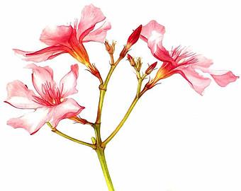 Oleanders.