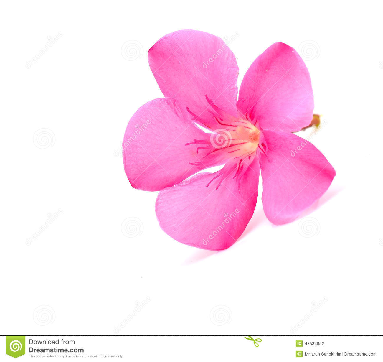 Oleander Flower Stock Photo.