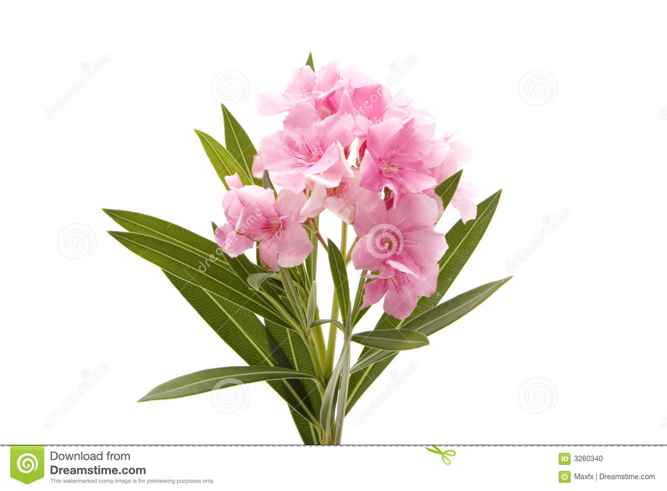 Pink Oleander Flower Stock Photo.
