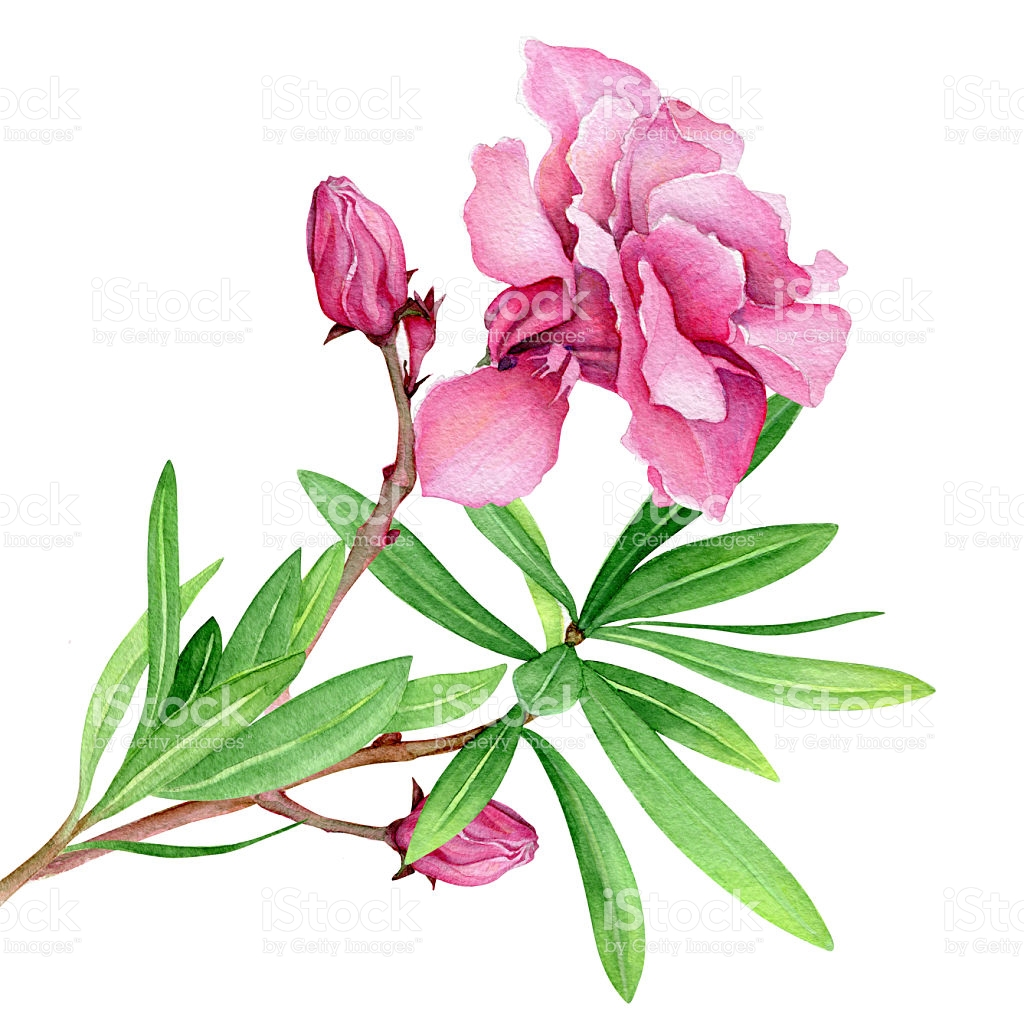 Watercolor Flower Of Oleander stock vector art 495389472.