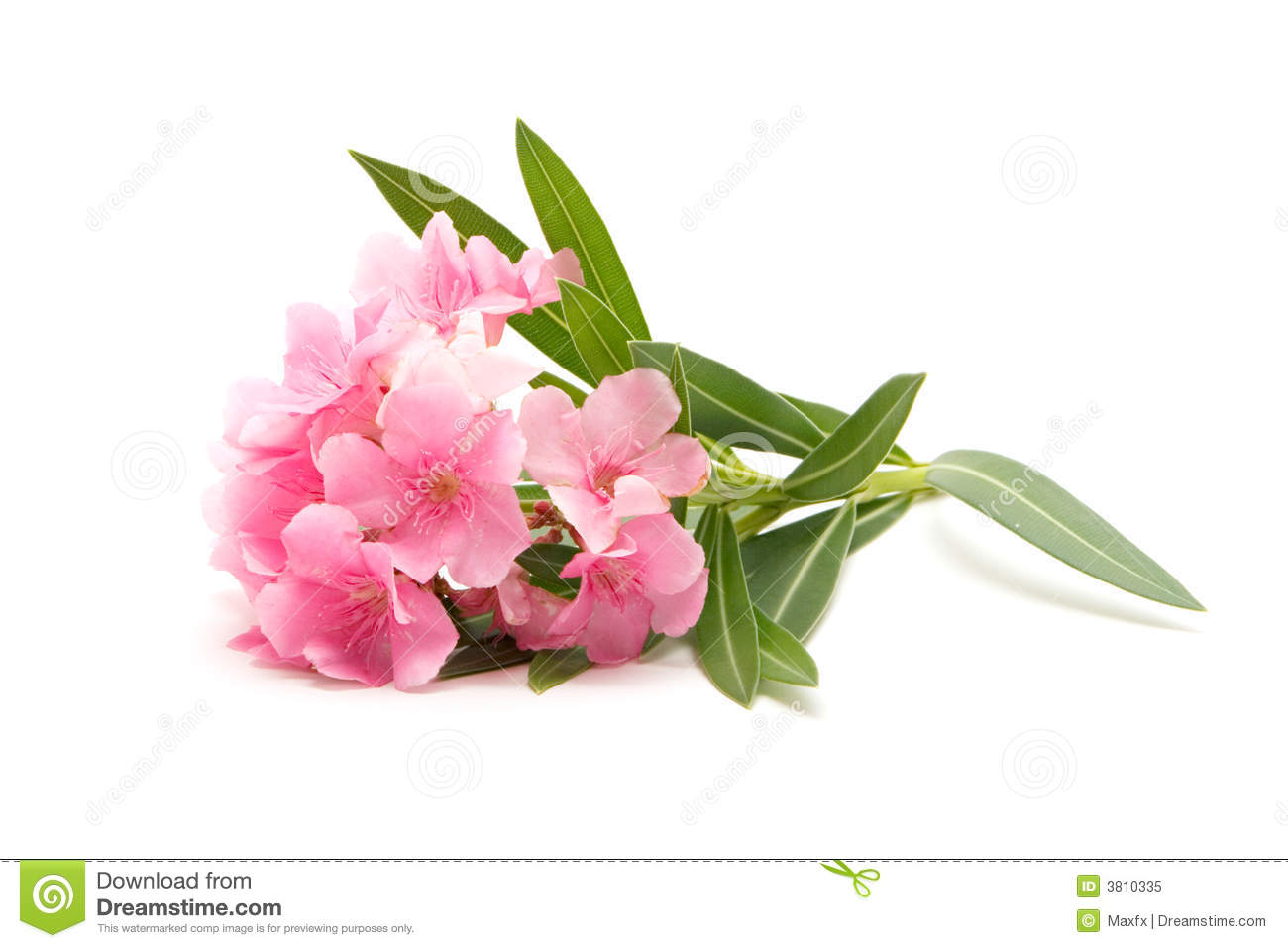 Oleander Flower Isolated On White Background Stock Photo.
