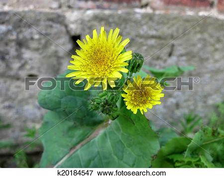 Picture of Smooth Sow Thistle (Conchus oleraceus) k20184547.
