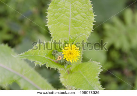 Sonchus Stock Photos, Royalty.
