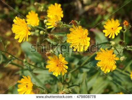 Sow Thistle Stock Photos, Royalty.