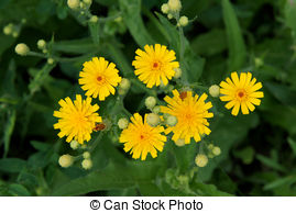 Picture of sonchus oleraceus.