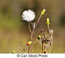 Stock Photographs of flowering herbs oregano.