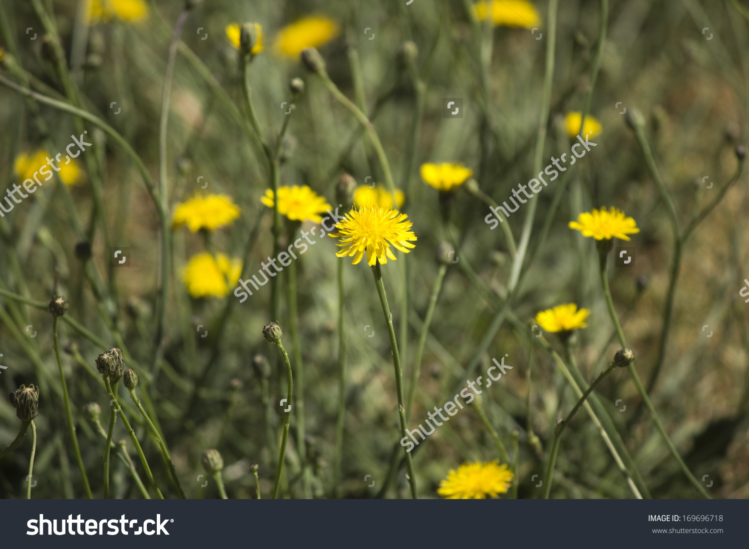 Common Australian Pasture Weed Common Sow Stock Photo 169696718.