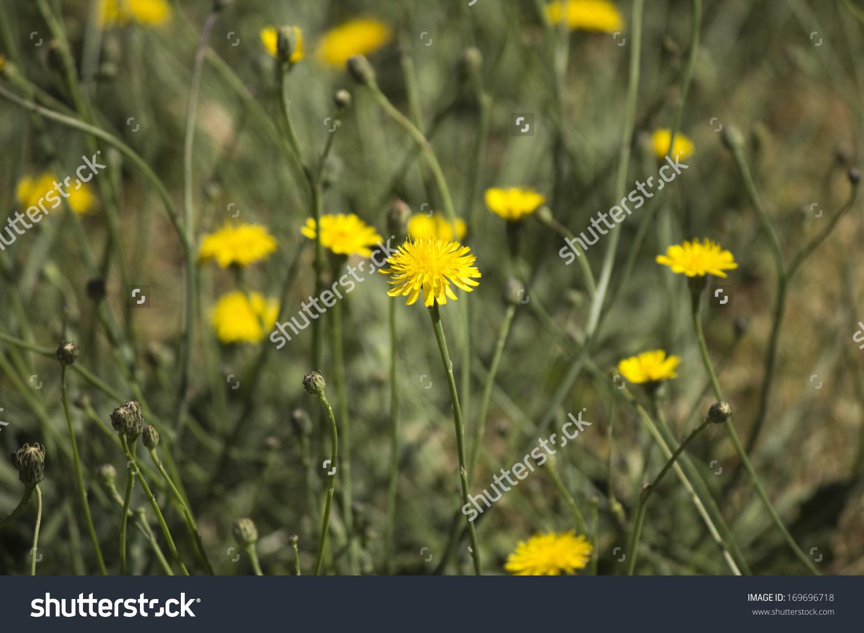 Common Australian Pasture Weed Common Sow Stock Photo 169696718.