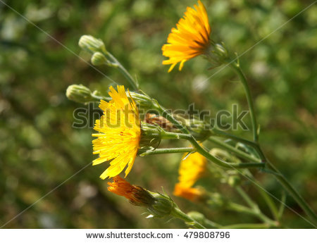 Tree Sow Thistle Stock Photos, Royalty.