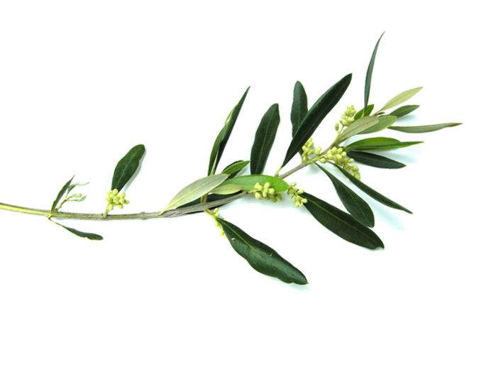 Olive branch Flower Clip art.