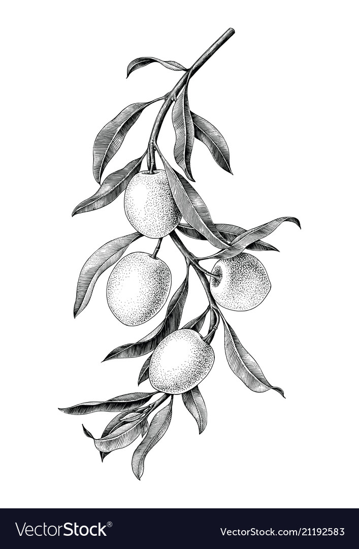 Olives branch black and white vintage clip art.