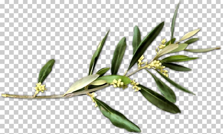 Olive Branch Petition Peace Symbols PNG, Clipart, Branch.