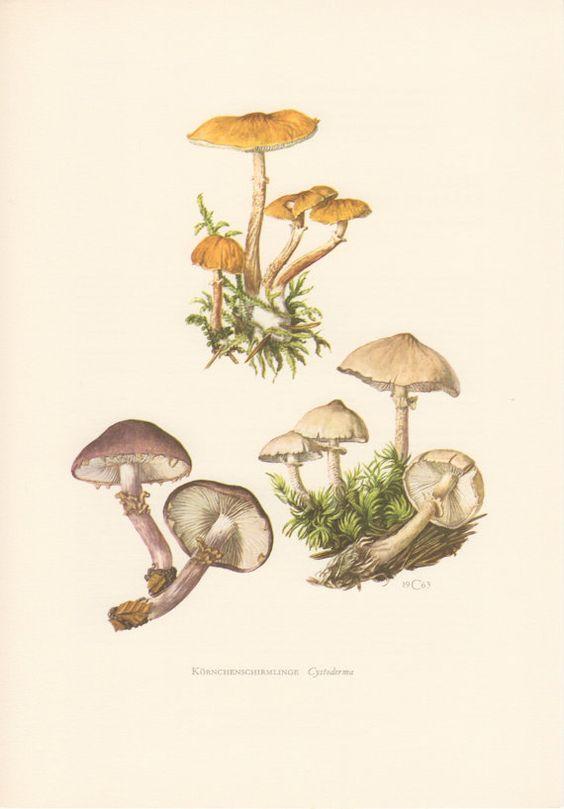 1963 Saffron Parasol, Mushroom, Antique Print, Vintage Lithograph.
