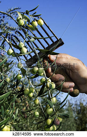 Stock Image of collection of green olive trees in crop fields.