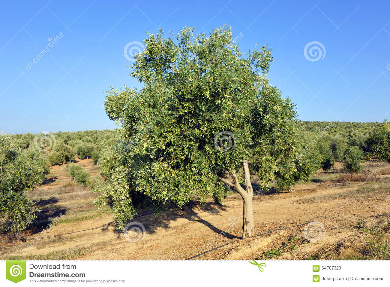 Irrigated Crops, Olive Groves, Andalusia, Spain Stock Photo.