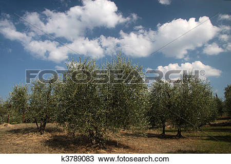 Drawing of Olive grove in Tuscany k3789083.