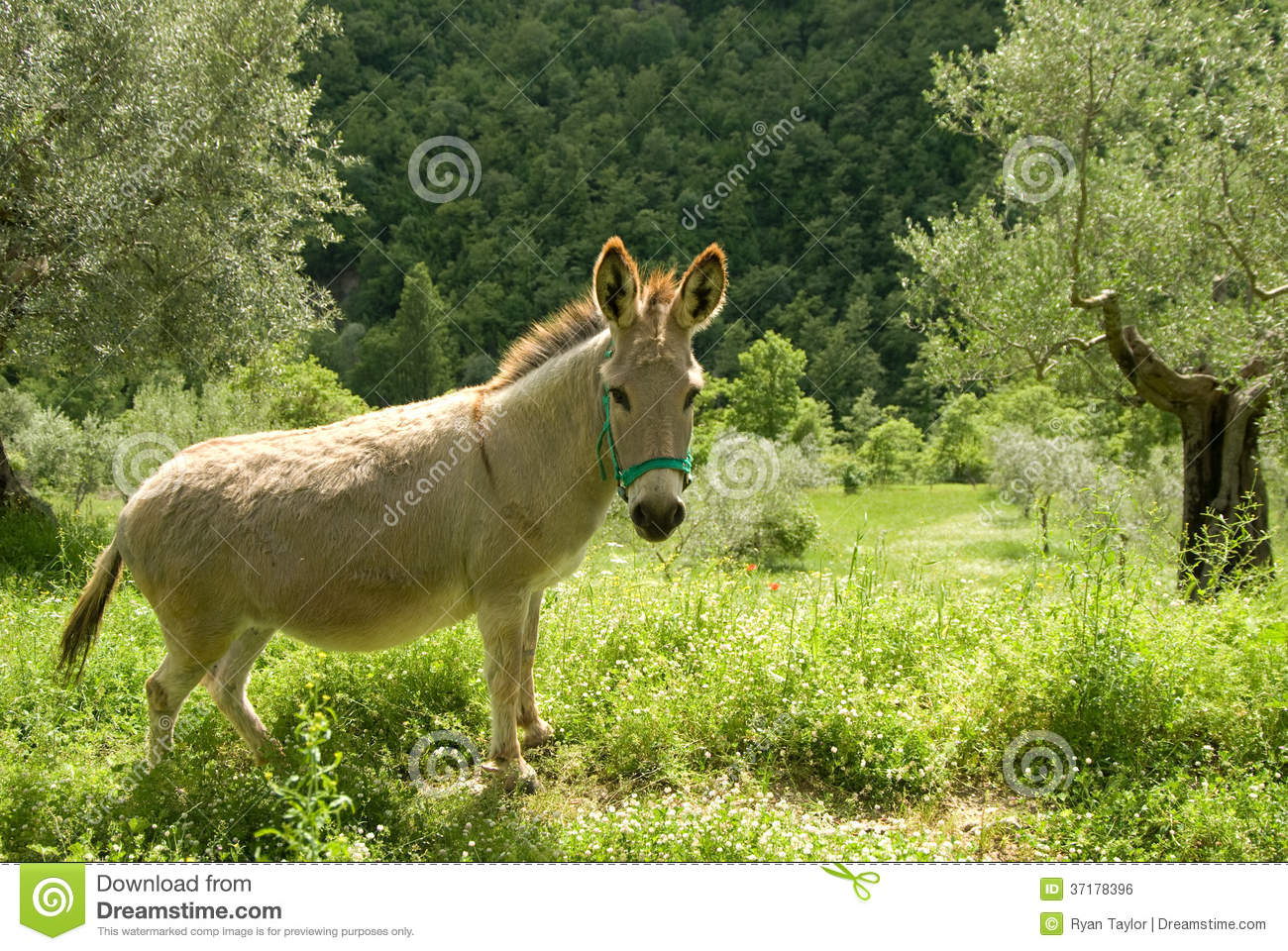 Donkey In Olive Grove Royalty Free Stock Image.
