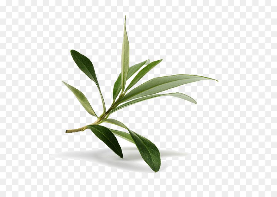 Olive Leaf.
