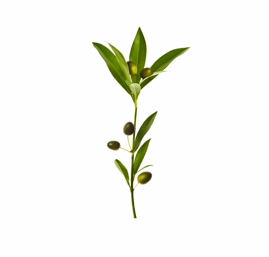 Branch Leaf Transprent Png.