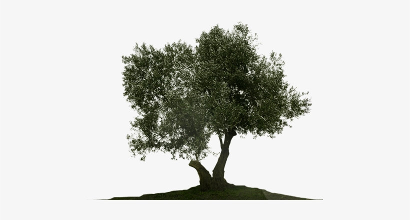 Olive Tree Png.