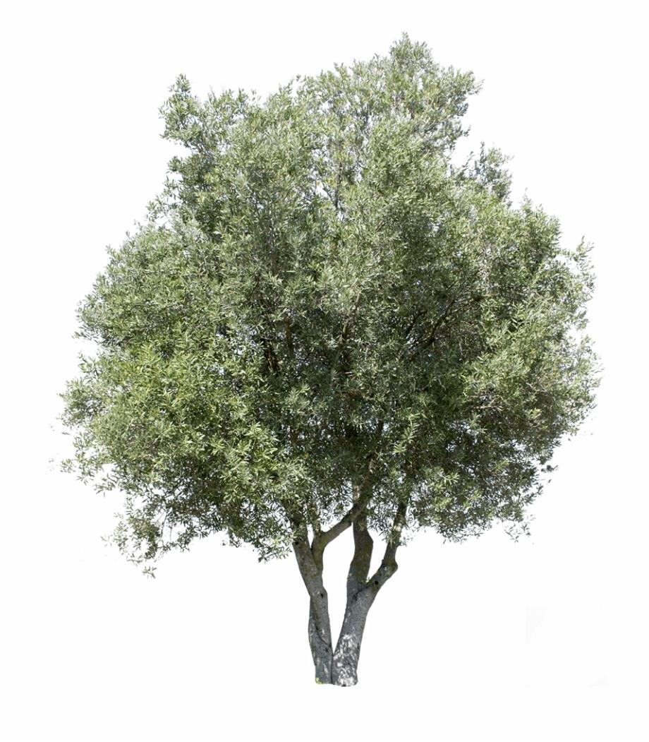 Olea Europaea I.