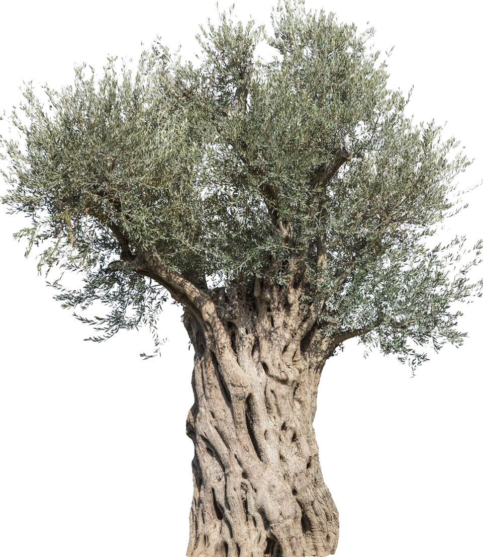 Olive Stock photography Tree Mediterranean cuisine Branch.