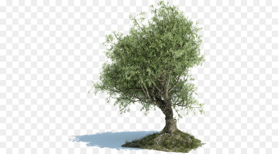Download Free png Olive leaf Tree Greek cuisine Olive oil.