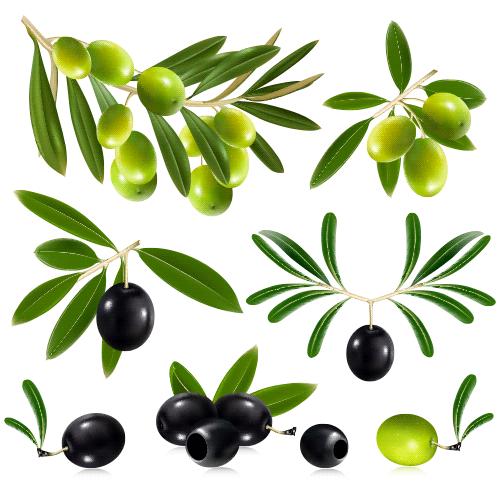 Ramas de olivo y aceitunas.
