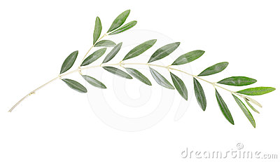 Olive Branch Stock Photo.