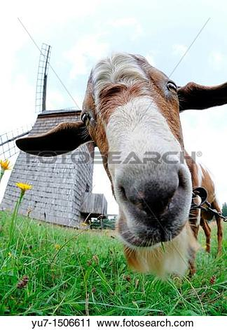 Stock Photography of Goat and original late 19th century paltrok.