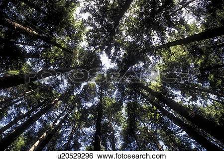 Stock Images of Olympic National Park, tree, forest, Washington.